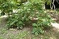Juglans mandshurica var. sachalinensis 05.jpg