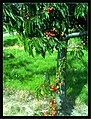 June Flower ^ Cherry Farming Endingen Kaiserstuhl - Master Seasons Rhine Valley Photography 2013 - panoramio (19).jpg