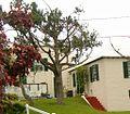 Juniperus bermudiana 2.jpg