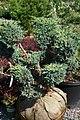 Juniperus chinensis Maneyi 1zz.jpg