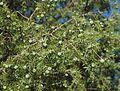 Juniperus oxycedrus 20130810 2.jpg