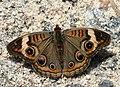 Junonia coeniaPCCA20051015-1147B.jpg
