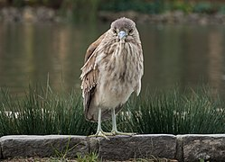 Juvenile black-crowned night heron (22055).jpg