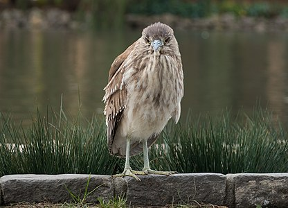 Juvenile black-crowned night heron in a park in San Francisco