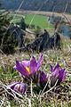 Küchenschellen blühen im Frühling im Eselsburger Tal.jpg