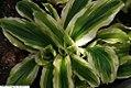 Kaempferia gilbertii 1zz.jpg