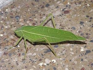 Tettigoniidae - Katydid mimicking a leaf
