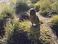 Kepler Track - Kea near Hidden Valley Shelter.jpg