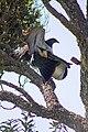 Kererū New Zealand Pigeons Mating (3 of 4).jpg