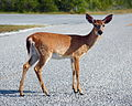 Key Deer on Deer Key.jpg