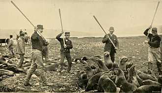 Seal hunting - Killing fur seals on St Paul Island, Alaska Territory, 1890s.