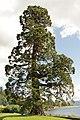 Kilmun Mammutbaum 1.jpg