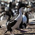 King Cormorant with nest material (5585853543).jpg