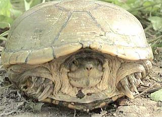 Yellow mud turtle species of reptile
