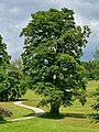 Kirchschlag - Naturdenkmal nd376 - Drillingsahorn - 1.jpg