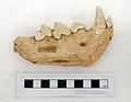 Kirkdale Cave Hyena mandible YORYM G1201.JPG