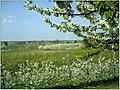 Kirschblüte - panoramio (23).jpg