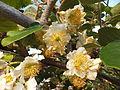 Kiwi male flowers 1.JPG