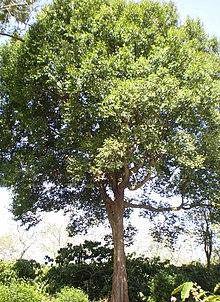 TỨ TUYỆT HOA 2 - Page 4 220px-Konia_tree