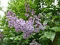 Korina 2013-05-12 Syringa vulgaris 1.jpg