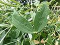 Korina 2014-07-12 Lathyrus latifolius 3.jpg