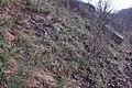 Korina 2015-03-29 Mahonia aquifolium 5.jpg