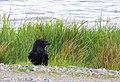 Korp Common Raven (20162645738).jpg