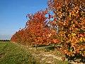 Krieken boomgaard in de herfst (Gingelom) - panoramio.jpg
