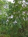Kudu-berry (Pseudolachnostylis maprouneifolia) (11907355405).jpg