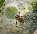 Labyrinth Spider. Agelena labyrinthica (27944484789).jpg