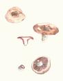 Lactarius vinosus.png