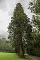 Lainzer Tiergarten Riesenmammutbaum Hermesstraße 1.jpg