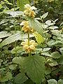 Lamium galeobdolon plant.jpg