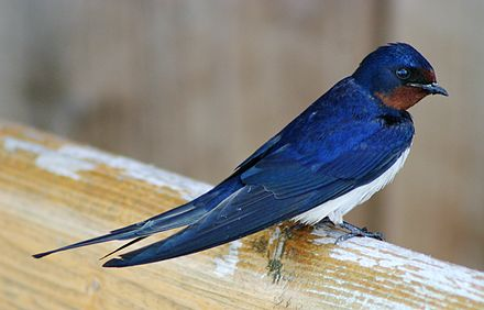 The barn swallow (H. r. rustica) is the national bird of Estonia. Landsvale.jpg