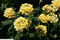 Lantana Lucky Lemon Cream 2zz.jpg