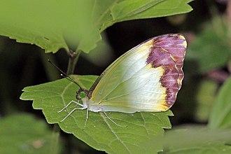 Nepheronia argia - Image: Large vagrant (Nepheronia argia argia) female
