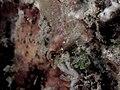 Largemouth triplefin (Ucla xenogrammus) (32311871942).jpg