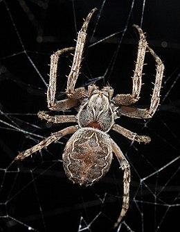 Larinioides sclopetarius wp 070910