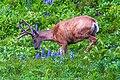 Late flowering in 2011…deer (16117618965).jpg
