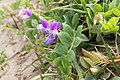 Lathyrus japonicus 02.jpg
