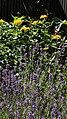 Lavendelbeet im Innenhof 07.jpg
