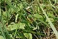 Le Criquet ensanglanté (Stethophyma grossum).jpg