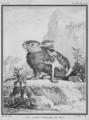 Le Lapin d-Angora en mue - Angora Rabbit, moulting - Gallica - ark 12148-btv1b2300253d-f56.png