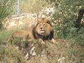 Le roi des animaux.JPG
