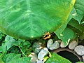 Leaf beetle mating on leaf (2).jpg