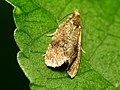 Leafroller Moth (31783577496).jpg