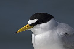 Least tern head shot setauket harbor may (14104748119).jpg
