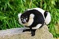 Lemur (26245086749).jpg