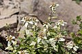 Leontopodium japonicum 14.jpg