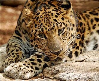 Amur leopard - Amur Leopard At the Audubon Zoo in New Orleans